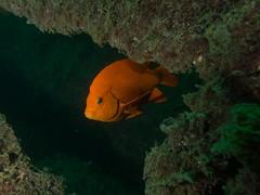 PA060407.jpg (Michael Bartosek) Tags: olympusepl3 catalinaisland olympus1442mm underwater catalina diving california pacificocean