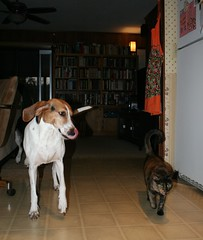 Eve(L) & Hazel(R) (saiberiac) Tags: pets companionanimal animal cat dog hound tortie tortoiseshell treeingwalkercoonhound cute house indoor eve hazel autumn fall november 2016 november2016