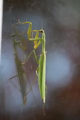 Praying Mantis on the window (Salamanderdance) Tags: praying mantid mantis preying insect window fall