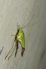 Makunda Insects-4256 - Tettigoniidae (Vijay Anand Ismavel) Tags: tettigoniidae makundainsects nikond800