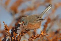 Dartford Warbler, Sand Bay, Somerset, England (Terathopius) Tags: somerset england unitedkingdom uk greatbritain gb dartfordwarbler sandbay sylviaundatadartfordiensis sylviaundata