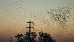 a sky full of starlings #1 (mark letheren photography) Tags: starlings murmuration vscofilm outdoor nature pylon wetlands powerlines newportwetlands