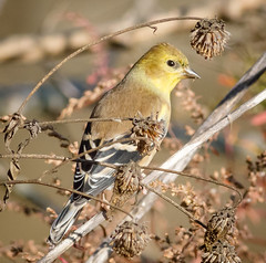 Goldfinch feeding on wildflower seeds (tresed47) Tags: 2016 201611nov 20161117johnheinzmisc birds canon7d content finch folder goldfinch johnheinznwr pennsylvania peterscamera petersphotos philadelphia places takenby us ngc npc
