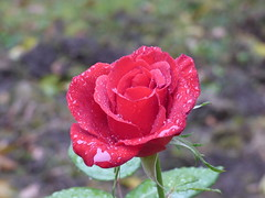 00732555 Rose (golli43) Tags: neighbours nachbarn himmel heaven wolken streets homesweethome sunrise sunset streetlive spaziergnge regen rain sun sonne katzen oktober mond wetter