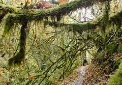 mossy overhanging branches (tangocyclist) Tags: forestpark portland oregon trail