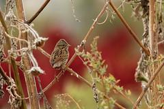 Aimophila ruficeps (Pablo Leautaud.) Tags: sanluistlaxialtemalco xochimilco mexico ciudaddemexico df cdmx naturaleza pleautaud aimophilaruficeps aves avifauna bird