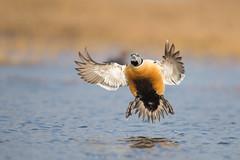 A stellar landing (Khurram Khan...) Tags: conservation stellarseider eider alaska arctic tundra breeding wildlife wildlifephotography globalwarming birdphotography waterfowl wwwkhurramkhanphotocom khurramkhan nikon nikkor naturephotography