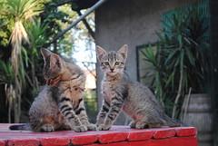 Ok John? Ok Mary! (GiannLui) Tags: gatto gatti cat gattini fratelli