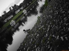 The thinking bird (ThomasDel2016) Tags: river duck wildlife selectivecolour naturephotography wildelifephotography nikon d5300 evesham cotswolds hamptonferry autumncolours autumn autumnleaves countryside englishcountryside england uk goodvibes britain