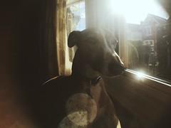 Oscar (ANNA GIBSON) Tags: whippet dogs dog wide angle