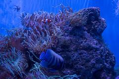 SEA Life Sydney Aquarium (Merrillie) Tags: angelfish anemone clownanemonefish darlingharbour tropicalfish seaanemone aquarium fish sealife water touristattraction sydney fauna animal