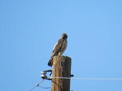 Red-tailed Hawk - Arizona by SpeedyJR (SpeedyJR) Tags: 2016janicerodriguez tucsonmountainpark redtailedhawk hawks birds wildlife nature tucsonarizona arizona speedyjr