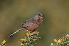 Dartford Warbler (Hammerchewer) Tags: dartfordwarbler bird male wildlife outdoor