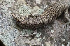 Lagartista (dotcomdotbr) Tags: fernando noronha sony a77 rptil lagarto lagartixa sal55300