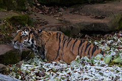 Dripping wet Nely (Anonyymoous) Tags: zoo tiger amurtiger tigristigris