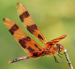 male halloween pennant (ophis) Tags: odonata anisoptera libellulidae celithemis celithemiseponina halloweenpennant