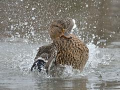 DSC_1851 (carlo griot) Tags: aqua paude becco birds