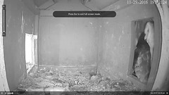 ### Iggy Came out! - BIG MOMENT (Birder23) Tags: iggy didi barnowlfledging barnowlets barnowlnesthouse owlchannelcom