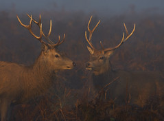Red Deer In The Mist (paulinuk99999 - tripods are for wimps :)) Tags: paulinuk99999 early morning sunrise red deer bog mist antlers rutting season sal70400g