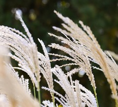 Autumn breeze (vinnie saxon) Tags: nature breeze wind autumn fall season creative plant field nikoniste nikon d600 weed bokeh