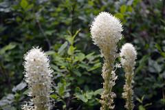 Blooming Beargrass (Sotosoroto) Tags: dayhike hiking cascades washington mountains silverpeak flowers