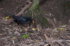 Blackbird (Terdus merula) and Kohekohe (Dysoxylum spectabile) (Nga Manu Images NZ) Tags: blackbird dysoxylumspectabile fscientificnames feeding fruiting kohekohe plantsandfungi trees turdusmerula