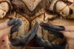 Edible crab. (annick vanderschelden) Tags: mediterraneansea northatlanticocean northsea antennae browncrab cancerpagurus carapace claw cookery culinary dactylus edge ediblecrab fishery food gastronomy nocturnal oval pereiopod piecrust predator reddishbrown robust seafood setae