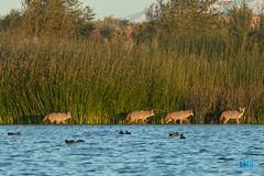 1127 IMG_8091 (JRmanNn) Tags: coyote lasvegas lasvegaswash