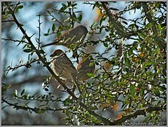 Sparrows & Finches (Snapshots by JD) Tags: sparrow finch cardinal oklahoma