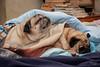 Puglife (Maria Foti) Tags: carlino cane canonphotography pugs pug carlinocanepug animalidomestici animal domesticanimal tranquillity relax