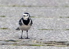 Pied Wagtail (2) (grahamh1651) Tags: helstonboatinglake birds gulls ducks geese waterbirds swans