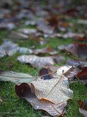 Fallen Leaves (amipal) Tags: autumn england gardens gb greatbritain leaf leaves nationaltrust nature nymans sussex uk unitedkingdom water droplets bokeh