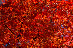 Fall on fire (Irina1010) Tags: foliage maple leaves red vibrant fiery light colorful nature canon autumn november