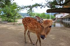 Salut toi ! (StephanExposE) Tags: japon japan asia asie stephanexpose nara kyoto sanctuaire shrine temple canon 600d 1635mm 1635mmf28liiusm exterieur nature daim