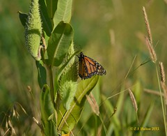 August 9, 2015 - A Monarch Butterfly at the Rocky Mountain Arsenal. (Ed Dalton)