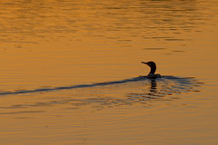 Cormorant (Deadpanhammer) Tags: bird nature sunrise attenborough cormorant attenboroughnaturereserve ef300mmf4lis canon7d