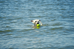 Lucas (Hey_Lee! Photography) Tags: dog white haven west beach water swimming puppy photography bay mix luke westie lucas terrier highland lbi maltese fetch 2015 heylee heyleephotography
