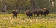Plains Bison (WherezJeff) Tags: ca canada nationalpark alberta plains elkisland bison parkscanada ardrossan