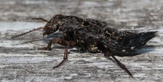 Ontholestes  tesselatus  Staphylinidae (BSCG (Badenoch and Strathspey Conservation Group)) Tags: sw