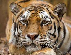 Siberian tiger (John van Beers) Tags: germany de zoo tiger tijger muenster siberiantiger nordrheinwestfalen mnster munster dierentuin pantheratigrisaltaica siberischetijger