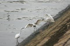 DSC03243_cr (rickytanghkg) Tags: white bird animal hongkong sony aves egret taipo a550