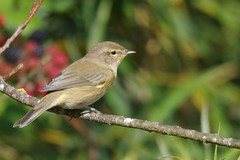 IMGP2769 Chiffchaff, Lackford Lakes, September 2015 (bobchappell55) Tags: wild bird suffolk wildlife lakes warbler chiffchaff lackford