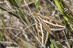 Hyles livornica (Jaume Bobet) Tags: macro canon sigma lepidoptera sphingidae mariposa bobet insecto hyles noctuido livornica