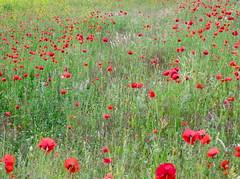 Poppies (Frans Schmit) Tags: denhaag poppies thehague wonderfulworldofflowers fransschmit