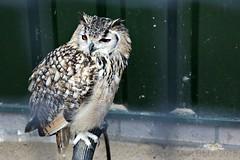 Bengaalse Oehoe (Bubo bengalensis) (Anne-Miek Bibbe) Tags: oktober de october nederland prey oehoe 2015 roofvogels bibbe bengaalseoehoe bubobengalensis annemiekbibbe canoneos700d bengaalse canoneosrebelt5idslr roofvogelboerderijbirds
