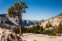 Tree on Olmstead Point (chriskruell) Tags: california summer henry backpacking halfdome yosemitenationalpark olmsteadpoint 2015 tiogaroad