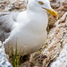 Common Herring Gull and Chick, Star Island, New Hampshire