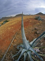 Pita rinoceronte (AAcero) Tags: almeria cabodegata genoveses