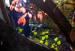LK M530 046 (~nevikk~) Tags: leaves colorful autumncolors foliage backlighting shaded treetrunks kevinekelly