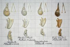 ComparisonLarkPipitWagtail3 (JRochester) Tags: skeleton skull grey alba meadow bones bone pied pelvis skylark wagtail sternum mandible pipit cinerea pratensis motacilla alauda anthus arrensis